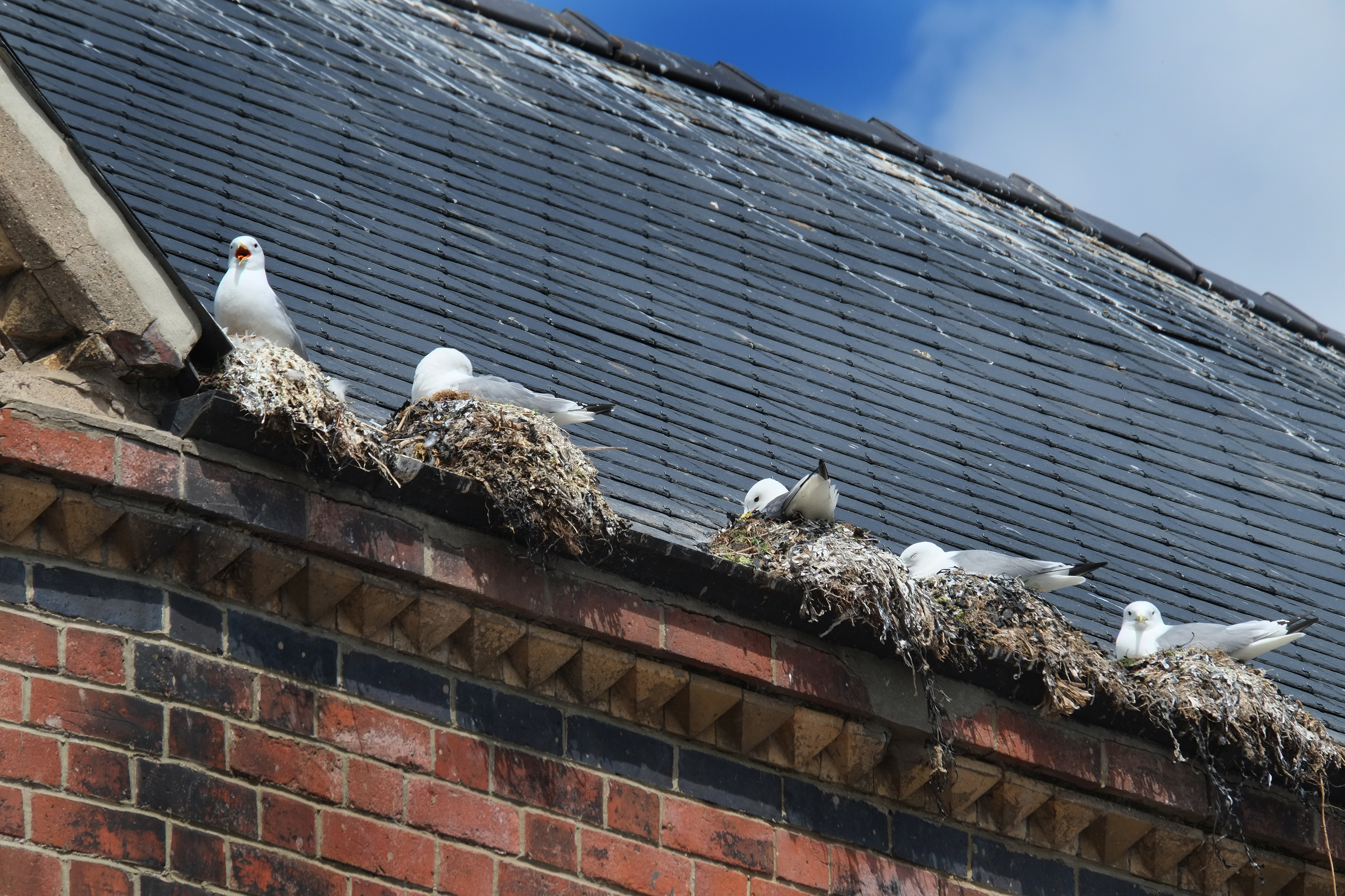 Seagull Nest Removal From Khitan Bird & Pest Solutions