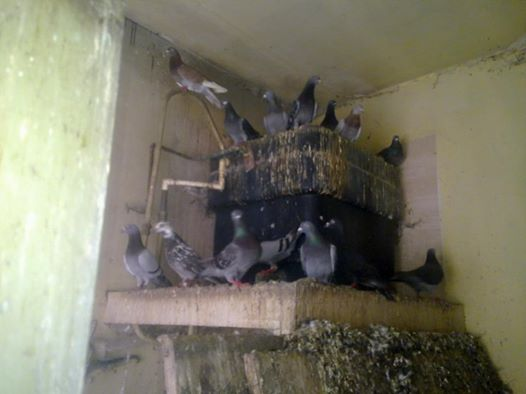 Pigeon pest control shropshire